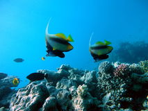 Underwater scene. Coral reef, fish groups royalty free stock images