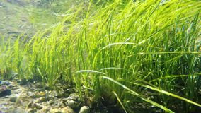 Underwater weed gently swaying. Clear shallow stream with underwater weed gently swaying stock video