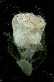 Underwater white rose Royalty Free Stock Photos