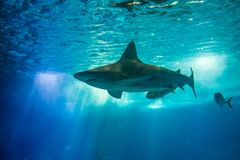 Underwater white shark. Undersea blue background with. A white shark in large sea water aquarium. Lisbon Oceanarium, Portugal. Tourism, holidays and leisure Stock Image