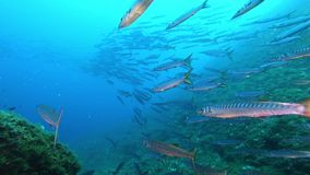 Underwater wildlife scene - Scuba diving with a big school of barracuda fish