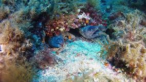 Underwater wildlife scene - Two moray eel together in a reef -