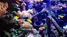 Underwater wildlife in a sea aquarium. Colorful sea underwater wildlife and vegetation in a sea aquarium stock video footage
