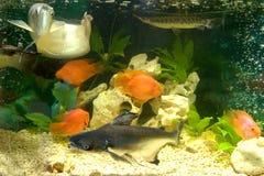 Underwater world. Home underwater aquarium fish gold Arawana catfish shark stingray Royalty Free Stock Photo