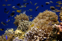 Underwater world. Underwater background showing wild tropical fish and coral garden. The Philippines royalty free stock photo