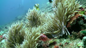 The underwater world of Bali Indonesia. Amazing, beautiful underwater world Bali Indonesia and  life of its inhabitants, creatures and diving, travels with them stock footage