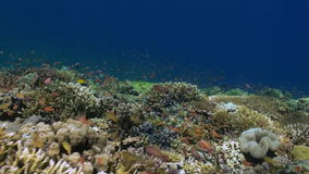 Underwater world of Bali Indonesia. Marine Life. stock video footage