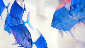 Underwater world. Beautiful aquarium with blue fish on a transparent background. stock footage