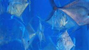 Underwater world. Beautiful aquarium with blue water and silver fish. stock footage
