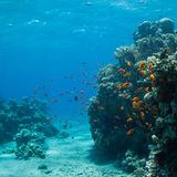 Underwater world. Coral and fish in the sea at ten meters Stock Images