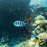 Underwater world. Coral and fish in the sea at ten meters Royalty Free Stock Images