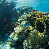 Underwater world. Coral and fish in the sea at ten meters Royalty Free Stock Photos