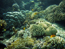 Underwater world of coral and fishes. Colorful coral reef with fishes Royalty Free Stock Photography