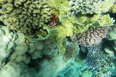 Underwater world of coral and fishes. Colorful coral reef with fishes Stock Photo