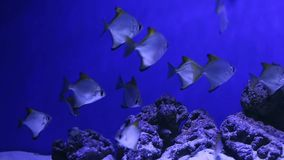Underwater world. Coral fishes of Red sea. Egypt stock video