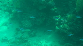 Underwater world with corals and small fish, slow. stock footage