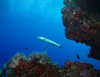 Underwater world in deep water in coral reef and plants flowers flora in blue world marine wildlife, Fish, corals, barracuda stock photography