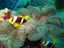 Underwater world in deep water in coral reef and plants flowers flora in blue world marine wildlife, travel nature beauty stock photo