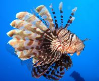 Underwater world in deep water in coral reef and plants flowers flora in blue world marine wildlife, Fish, corals and sea creature royalty free stock photo