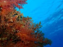 Underwater world in deep water in coral reef and plants flowers flora in blue world marine wildlife, Fish, corals and sea creature royalty free stock photography
