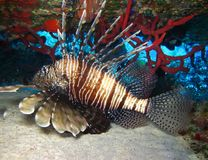 Underwater world in deep water in coral reef and plants nature flora in blue world marine wildlife, ocean sea dive. Fish lionfish royalty free stock image