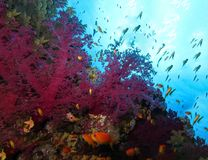 Underwater world in deep water in coral reef and plants nature flora in blue world marine wildlife, ocean sea dive. Fish napoleon. Underwater world in deep water royalty free stock photo