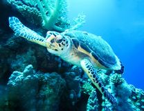 Underwater world in deep water in coral reef and plants nature flora in blue world marine wildlife, ocean sea dive. Fishes, turtle stock photo