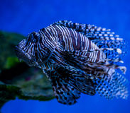 Underwater world fish Aquarium Royalty Free Stock Photography