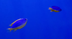 Underwater world fish Aquarium Royalty Free Stock Photo