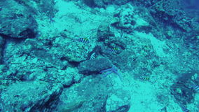Underwater world. Fishes in their natural habitat. Underwater world. View of sea fishes in their natural habitat stock footage