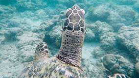Underwater world of the island of Bali. Sea turtle. The snorkeling and diving is popular on east coast of Bali, the stock footage