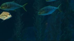 Underwater world. Large aquarium with different species of fish and marine life. stock footage