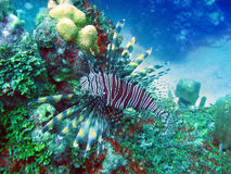 Underwater world, lionfish (Pterois volitans) Royalty Free Stock Image