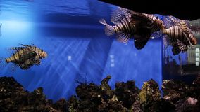 The underwater world of marine life. The oceanarium is surrounded by various exotic inhabitants of the seas. Fish in the. Ocean stock video