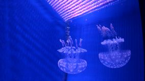 Underwater world. Medusa. Undersea life rare animals of Moskvarium stock video footage