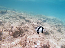 Underwater world. Reefs, coral any many nice fishes in the red sea Royalty Free Stock Images