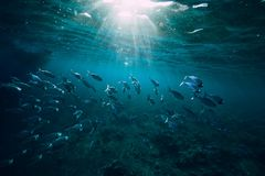 Underwater world with school fish in sea. Underwater photo with school fish swim above a reef stock photography