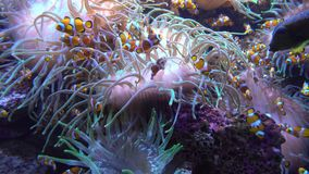 Underwater world - sea, ocean, fish, coral. Underwater world - ocean fish and coral stock video footage