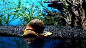 Underwater world.Sea snail. Undersea life rare animals of Moskvarium stock video footage