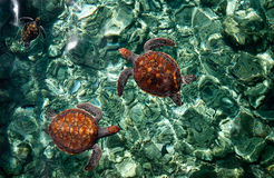 Underwater World. Sea Turtles Royalty Free Stock Photos