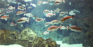 Underwater world, shoal of many marine shiny fishes Royalty Free Stock Images