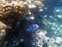 Underwater world. Snorkeling around Hurghada, egypt.2013 Stock Photography