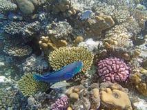 Underwater world. Snorkeling around Hurghada, egypt.2013 Royalty Free Stock Photos