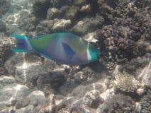Underwater world. Snorkeling around Hurghada, egypt.2013 Royalty Free Stock Photo