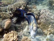 Underwater world. Snorkeling around Hurghada, egypt.2013 Stock Image