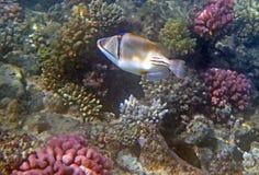 Underwater world. Snorkeling around Hurghada, egypt.2013 Royalty Free Stock Photography