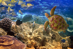 Underwater world- Turtle and fishes Stock Images