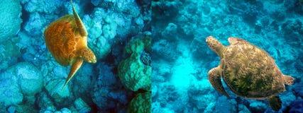 Underwater world- Turtle in stones.Indian ocean. Indian ocean. Underwater world- Turtle in stones Royalty Free Stock Photos