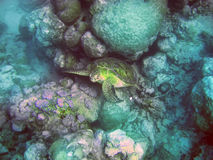 Underwater world- Turtle in stones. Mauritius. Stock Image