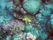 Underwater world- Turtle in stones. Mauritius. Stock Image